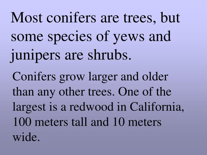 Most conifers are trees, but some species of yews and junipers are shrubs.