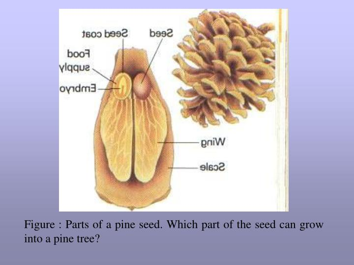 Figure : Parts of a pine seed. Which part of the seed can grow into a pine tree?