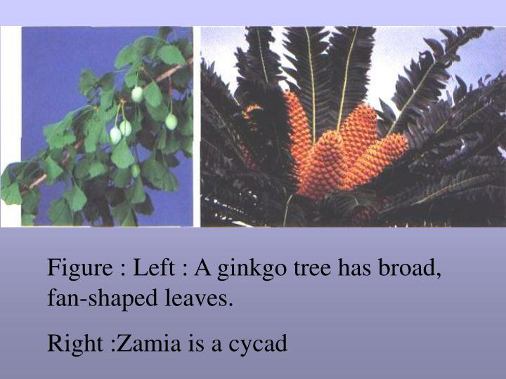 Figure : Left : A ginkgo tree has broad, fan-shaped leaves.