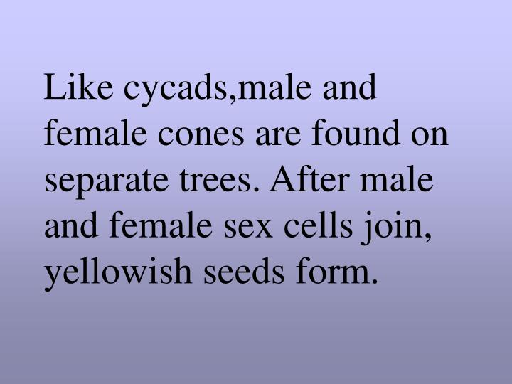 Like cycads,male and female cones are found on separate trees. After male and female sex cells join, yellowish seeds form.