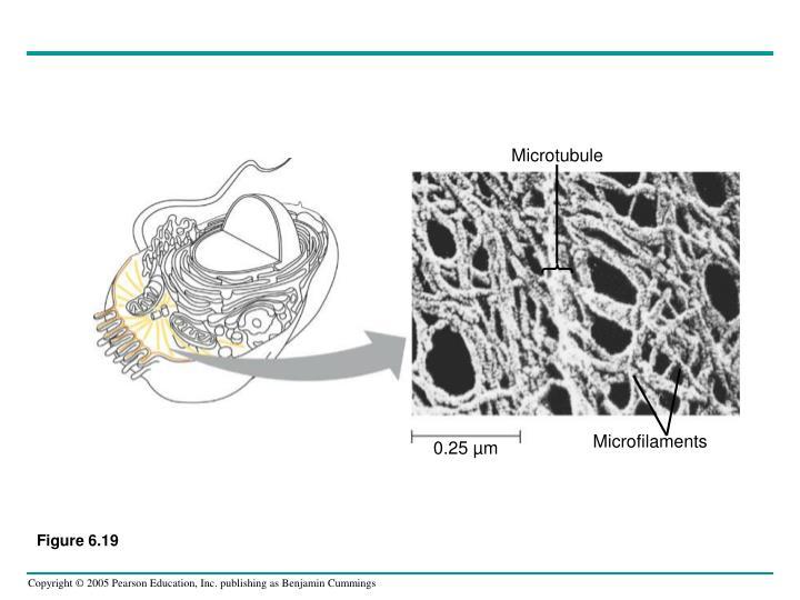 Microtubule