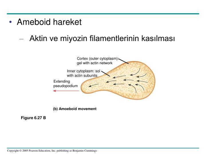Cortex (outer cytoplasm):