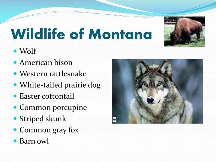 Wildlife of Montana