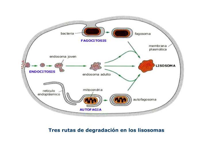 Tres rutas de degradación en los lisosomas