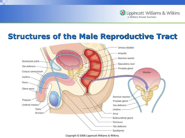 Structures of the Male Reproductive Tract