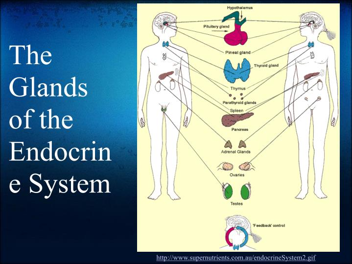 The Glands of the Endocrine System