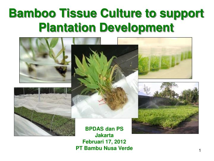 Bamboo tissue culture to support plantation development