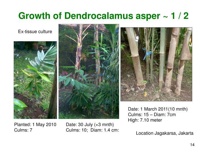 Growth of Dendrocalamus asper ~ 1 / 2