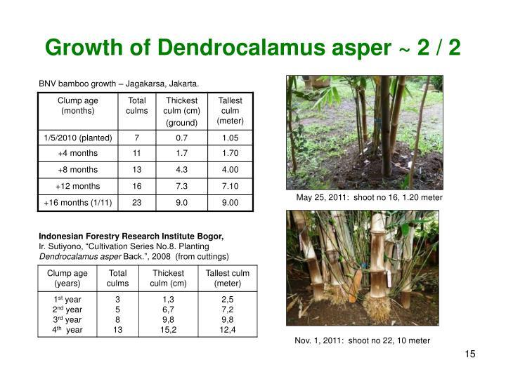 Growth of Dendrocalamus asper ~ 2 / 2