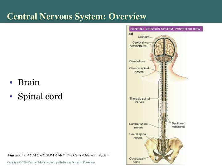 Central Nervous System: Overview