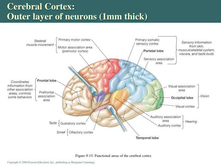 Cerebral Cortex: