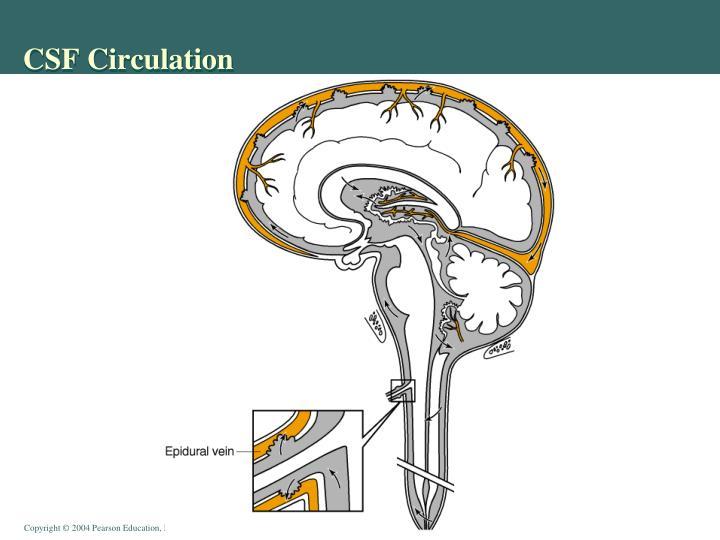 CSF Circulation