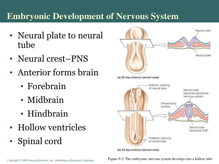 Embryonic Development of Nervous System