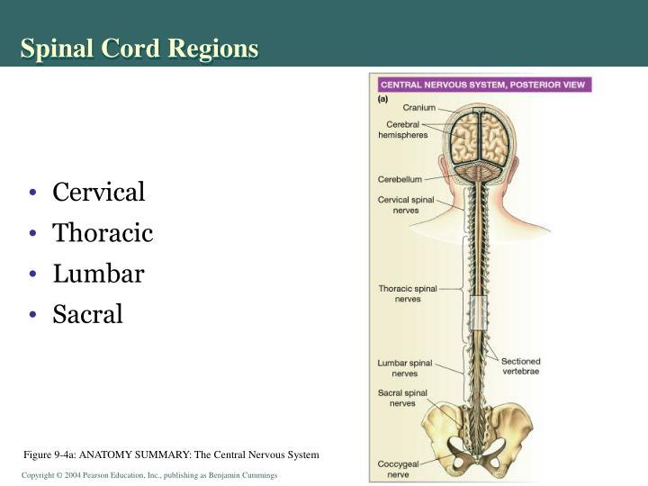 Spinal Cord Regions
