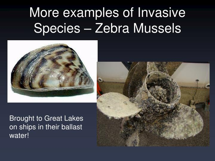 a short description of the invasion of zebra mussels