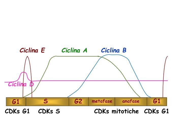 Ciclina E