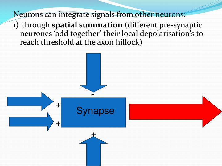 Neurons can integrate signals from other neurons: