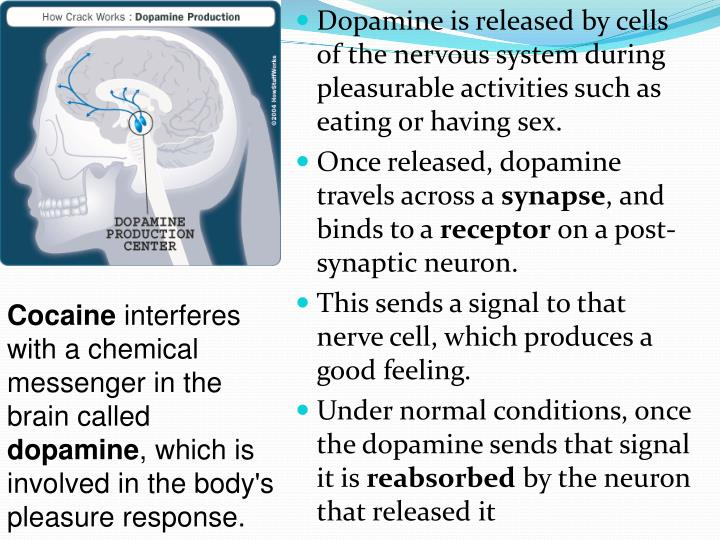 Dopamine is released by cells of the nervous system during pleasurable activities such as eating or having sex.