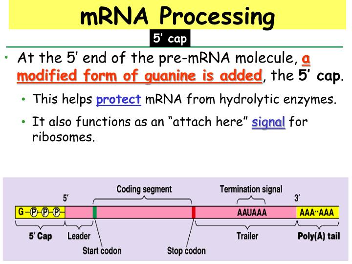 At the 5' end of the pre-mRNA molecule,