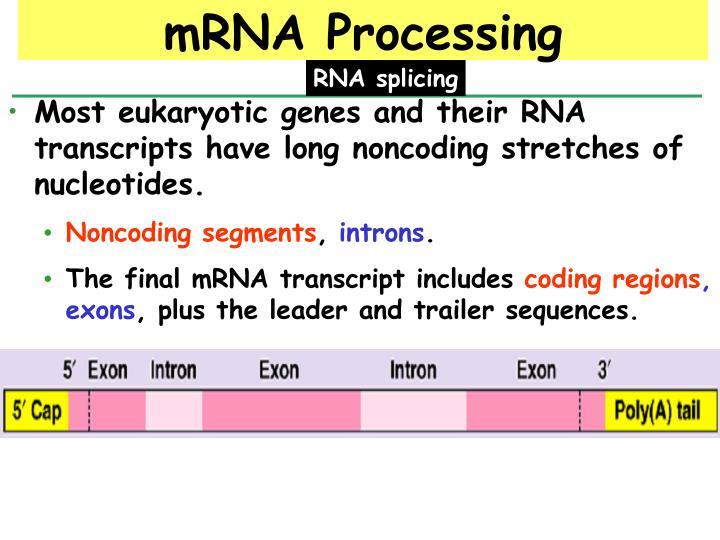 Most eukaryotic genes and their RNA transcripts have long noncoding stretches of nucleotides.