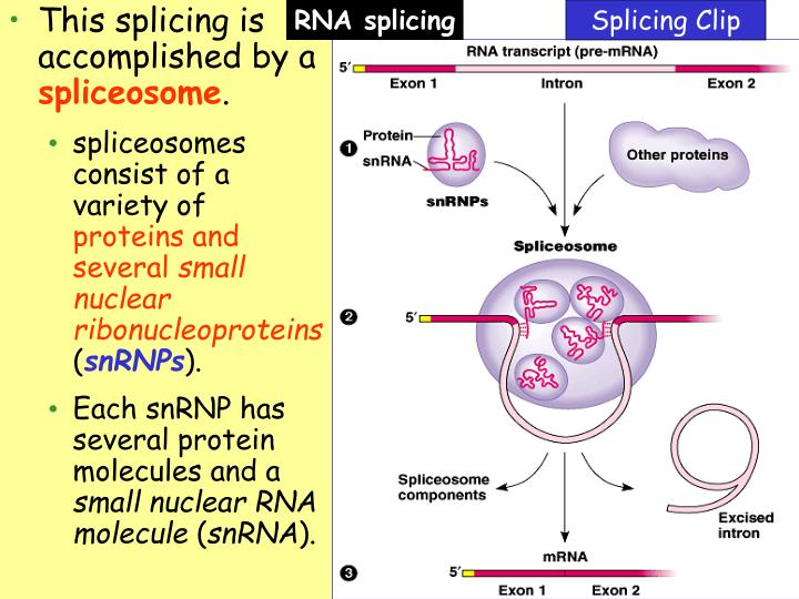 This splicing is accomplished by a