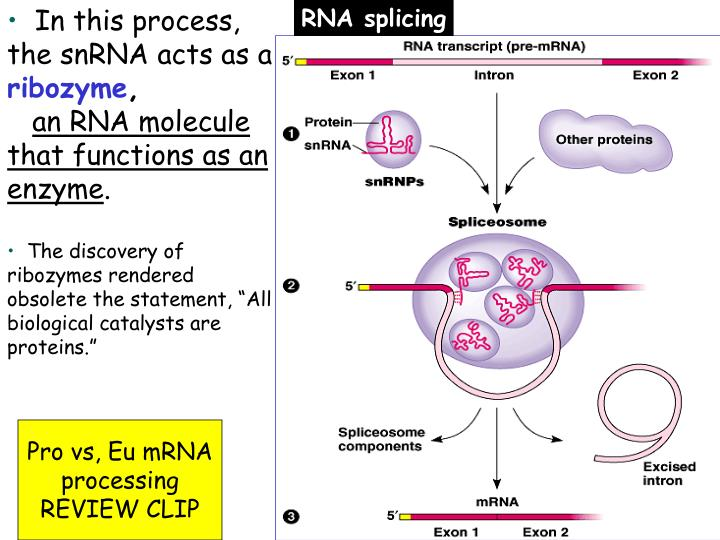 In this process, the snRNA acts as a