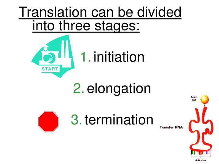Translation can be divided     into three stages: