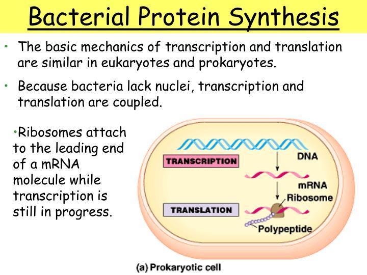 The basic mechanics of transcription and translation are similar in eukaryotes and prokaryotes.