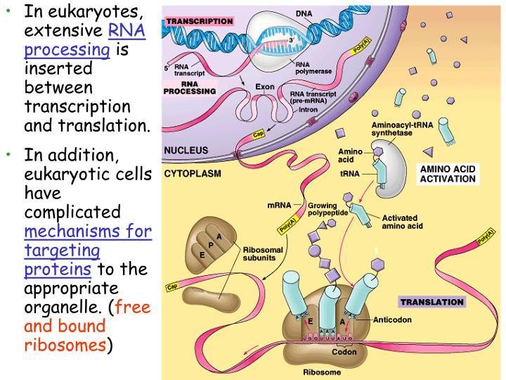 In eukaryotes, extensive