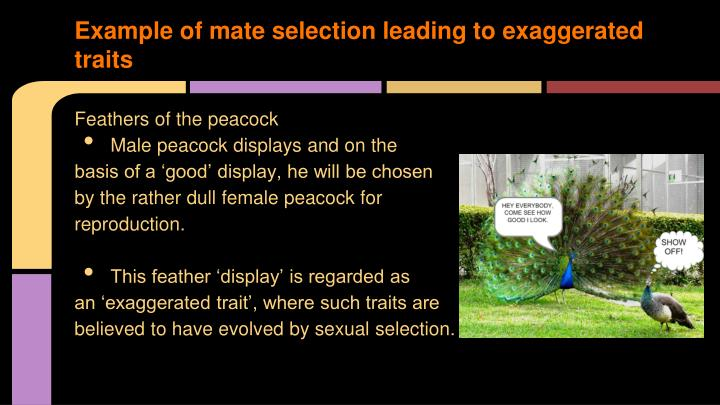 Example of mate selection leading to exaggerated traits
