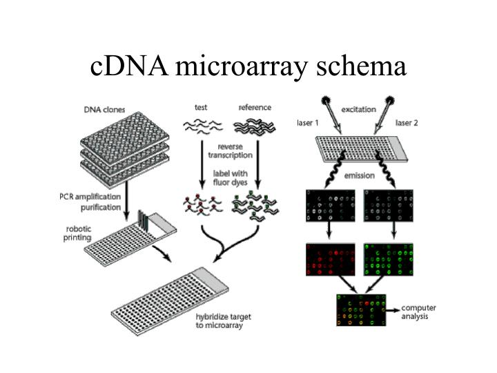 cDNA microarray schema