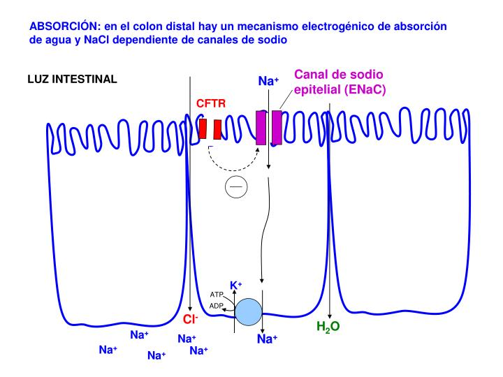 Canal de sodio epitelial (ENaC)