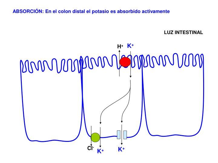 ABSORCIÓN: En el colon distal el potasio es absorbido activamente
