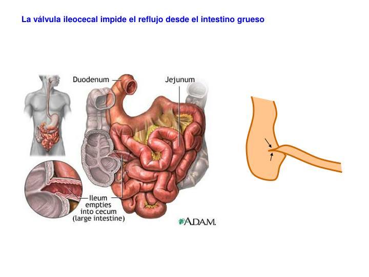 La válvula ileocecal impide el reflujo desde el intestino grueso