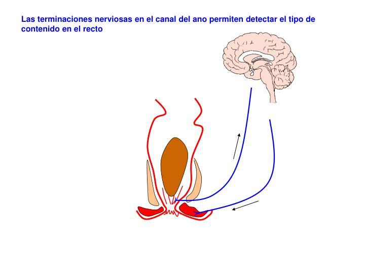 Las terminaciones nerviosas en el canal del ano permiten detectar el tipo de contenido en el recto
