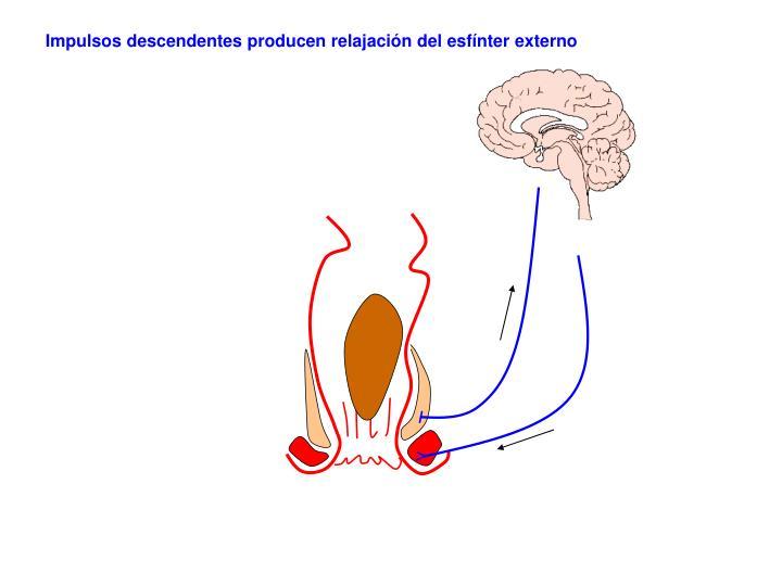 Impulsos descendentes producen relajación del esfínter externo