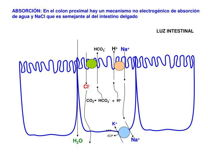 ABSORCIÓN: En el colon proximal hay un mecanismo no electrogénico de absorción de agua y NaCl que es semejante al del intestino delgado
