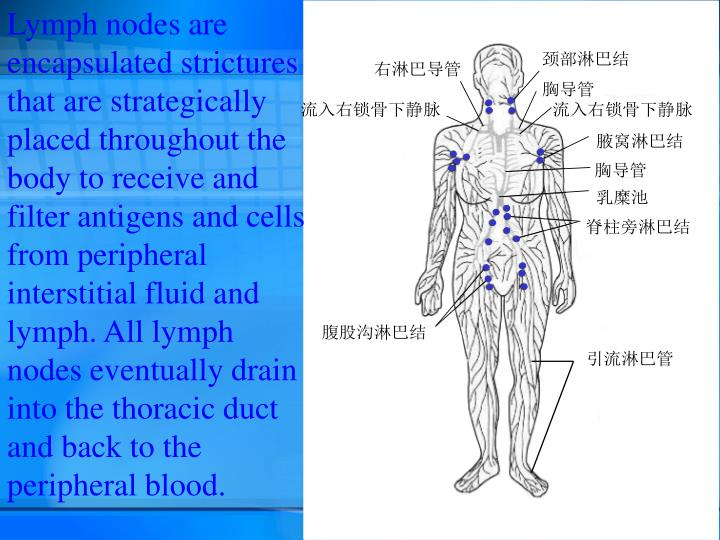 Lymph nodes are encapsulated strictures that are strategically placed throughout the body to receive and filter antigens and cells from peripheral interstitial fluid and lymph. All lymph nodes eventually drain into the thoracic duct and back to the peripheral blood.