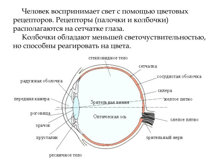 Человек воспринимает свет с помощью цветовых рецепторов. Рецепторы (палочки и колбочки) располагаются на сетчатке глаза.