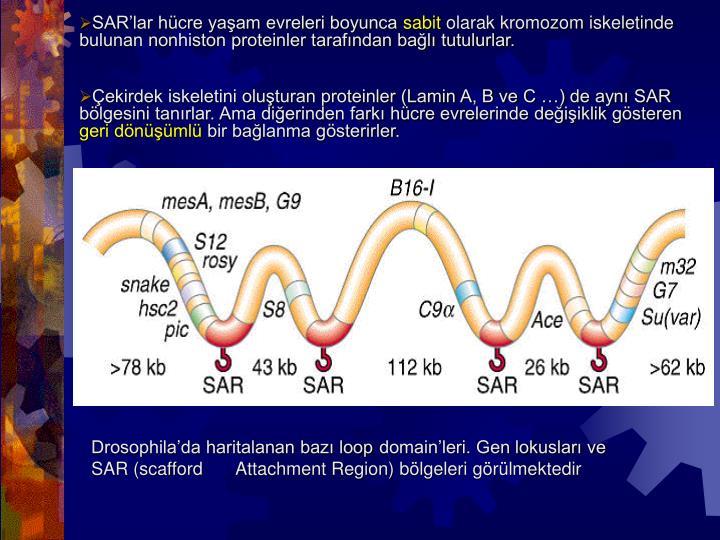 SAR'lar hücre yaşam evreleri boyunca