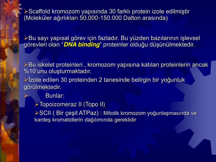 Scaffold kromozom yapısında 30 farklı protein izole edilmiştir (Moleküler ağırlıkları 50.000-150.000 Dalton arasında)