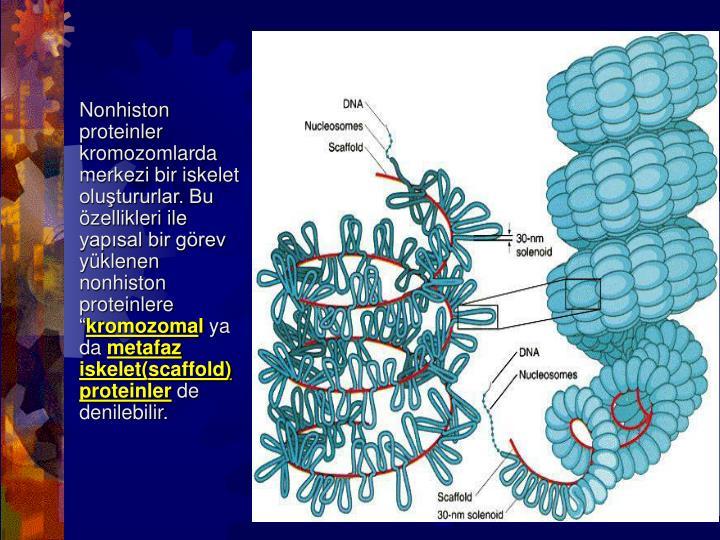 """Nonhiston proteinler kromozomlarda merkezi bir iskelet oluştururlar. Bu özellikleri ile yapısal bir görev yüklenen nonhiston proteinlere """""""