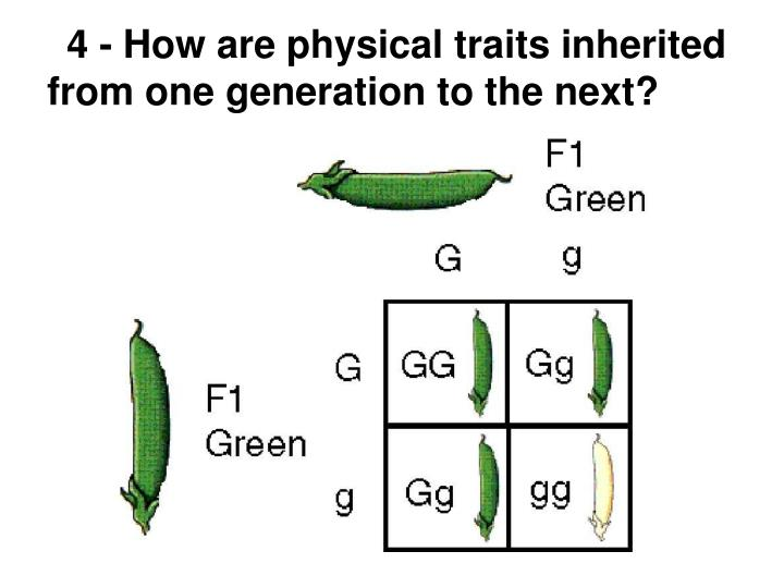 4 - How are physical traits inherited from one generation to the next?
