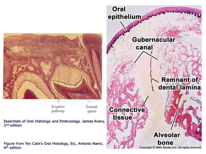 Essentials of Oral Histology and Embryology. James Avery,