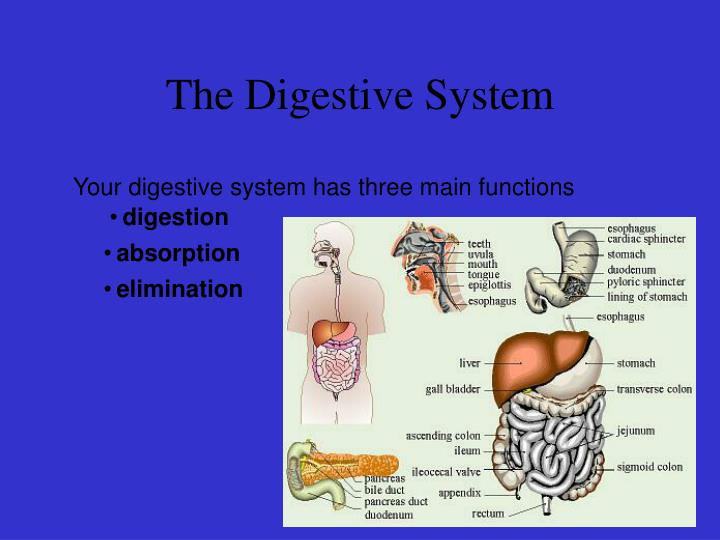 the digestive system a presentation Digestive system presentation- exercise want music and videos with zero ads get youtube red.