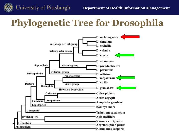 Phylogenetic Tree for Drosophila