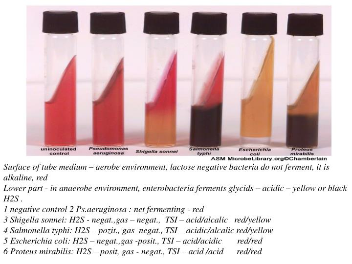 Surface of tube medium – aerobe environment, lactose negative bacteria do not ferment, it is alkaline, red                                                                                                                                                    Lower part - in anaerobe environment, enterobacteria ferments glycids – acidic – yellow or black H2S .                                                                                                                                                                              1 negative control 2 Ps.aeruginosa : net fermenting - red                                                                                              3 Shigella sonnei: H2S - negat.,gas – negat.,  TSI – acid/alcalic   red/yellow                                                         4 Salmonella typhi: H2S – pozit., gas–negat., TSI – acidic/alcalic red/yellow                                                       5 Escherichia coli: H2S – negat.,gas -posit., TSI – acid/acidic       red/red                                                               6 Proteus mirabilis: H2S – posit, gas - negat., TSI – acid /acid      red/red