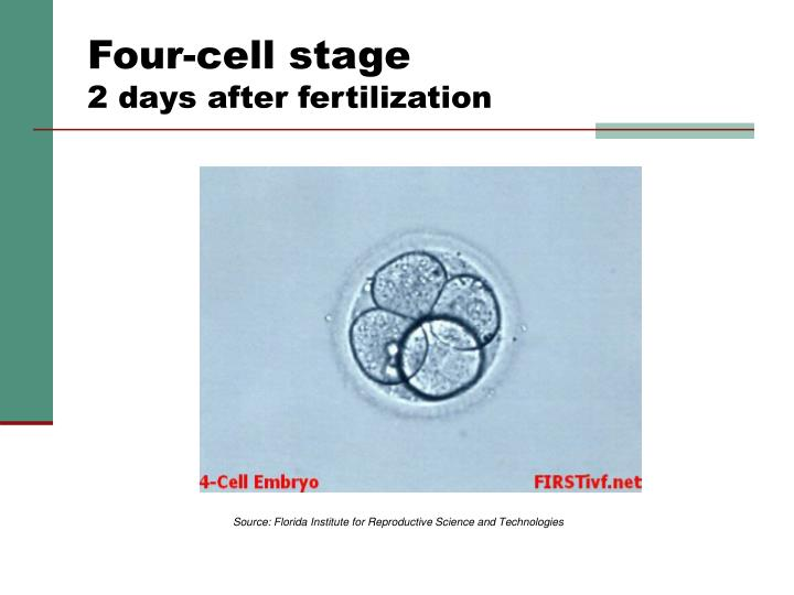 Four-cell stage