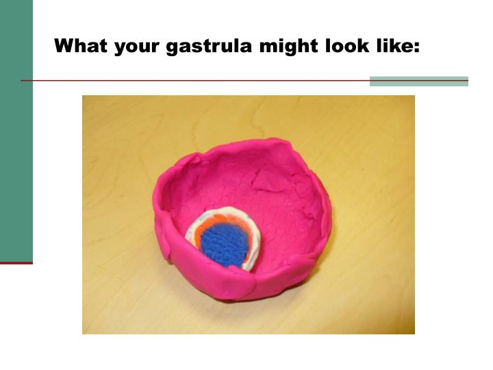 What your gastrula might look like: