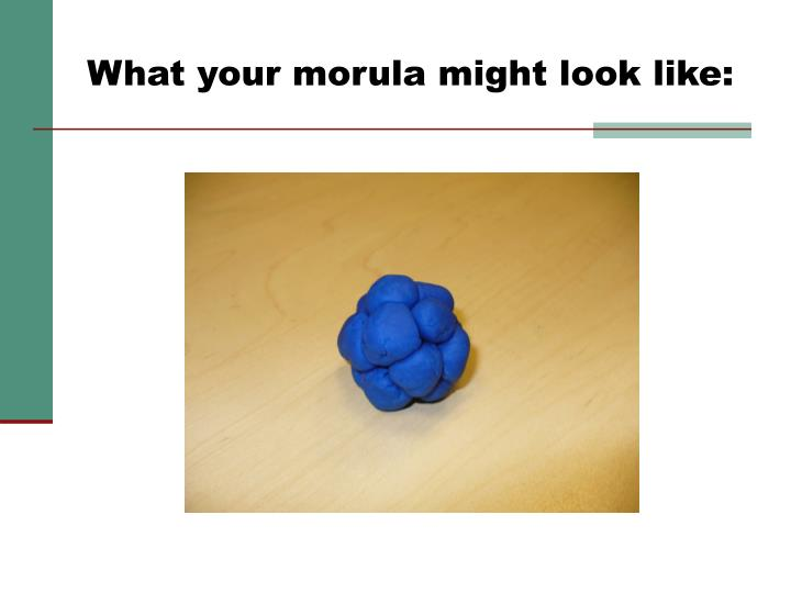 What your morula might look like: